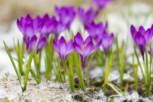 March weekend events crocuses DP